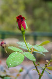 Bourgeon de Rose rouge dans le jardin au-dessus du fond naturel après pluie Photos stock