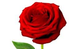 Bourgeon de rose de rouge sur l'isolat en gros plan de fond blanc Photo stock