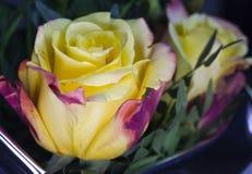 Bourgeon de rose toujours d'une vie dans le jour ensoleillé Images stock