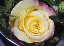Bourgeon de rose toujours d'une vie dans le jour ensoleillé Photographie stock