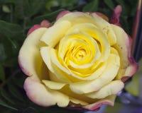 Bourgeon de rose toujours d'une vie dans le jour ensoleillé Photos stock