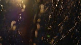 Bourgeon de source saules dans le coucher du soleil banque de vidéos