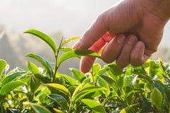 Bourgeon de thé vert et feuilles fraîches photo libre de droits