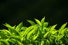 Bourgeon de thé vert et feuilles fraîches sur le fond noir image libre de droits