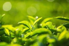 Bourgeon de thé vert et lames fraîches photographie stock