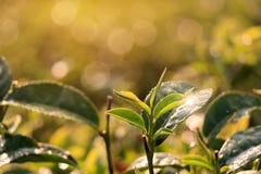 Bourgeon de thé vert et lames fraîches Fermez-vous vers le haut du champ de plantations de thé Photographie stock