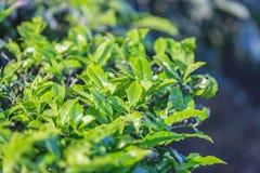 Bourgeon de thé vert et lames fraîches plantations de thé photographie stock libre de droits