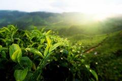 Bourgeon de thé vert et lames fraîches Plantations de thé en highl de Cameron photos stock