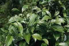 Bourgeon de thé vert et lames fraîches plantations de thé Fermez-vous vers le haut du vert image libre de droits