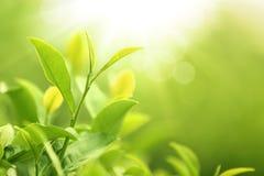 Bourgeon et feuilles de thé vert. Image stock