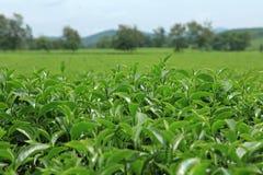 Bourgeon et lames de thé vert Photos libres de droits