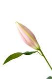 Bourgeon floral Photographie stock libre de droits