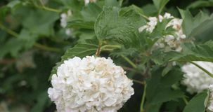 Bourgeon floral blanc dans la cour pendant l'été clips vidéos
