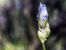 Bourgeon floral bleu d'iris Photos libres de droits