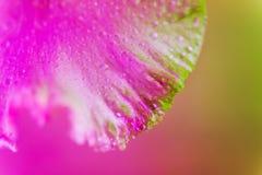 Bourgeon floral color? au n?on vif d'iris photographie stock libre de droits
