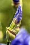 Bourgeon floral d'iris Image stock