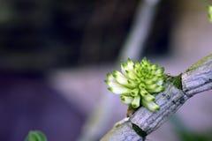 Bourgeon floral d'orchidée de purpureum de dendrobium d'espèces Image stock