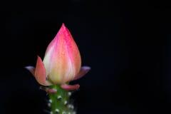 Bourgeon floral de cactus sur le noir Image stock
