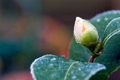 Bourgeon floral de camélia photos stock