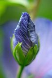 Bourgeon floral de ketmie dans le jardin Photo libre de droits
