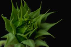 Bourgeon floral de tournesol sur le bacground noir photo libre de droits
