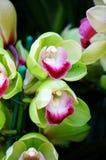 Fleur verte de Cymbidium ou d'orchidée Photos stock