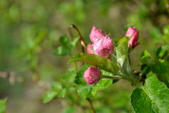 Bourgeon floraux Image stock