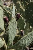 Bourgeon floraux de cactus en Zion National Park image libre de droits