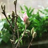 Bourgeon floraux de magnolia Images stock