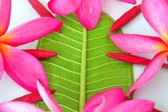 Bourgeon floraux de Plumeria et rouge de floraison Photographie stock libre de droits