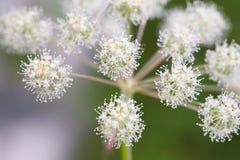 Bourgeon floraux des centrales sauvages Photographie stock libre de droits