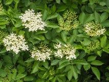 Bourgeon floraux et fleurs de l'aîné noir Photos libres de droits