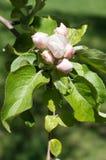 Bourgeon floraux fermés blancs rosâtres d'Apple-arbre Image stock