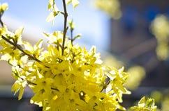 Bourgeon floraux jaunes des arbres Images libres de droits