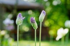 Bourgeon floraux non-expansés d'ail avec des baisses de rosée Image stock