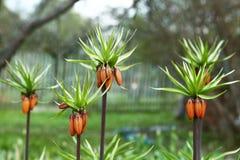 Bourgeon floraux oranges sur le fond de jardin de ressort image libre de droits