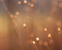 Bourgeon floraux secs d'herbe en soleil Photo libre de droits