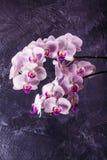 Bourgeon floraux sensibles d'orchidée sur le fond gris Images libres de droits