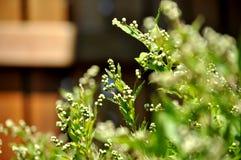 Bourgeon floraux sensibles et minuscules d'arbuste de floraison Photo stock
