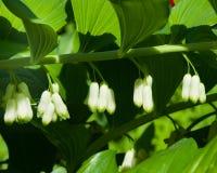 Bourgeon floraux sur l'odoratum de floraison de polygonatum, joint angulaire du ` s de Solomon, plan rapproché, foyer sélectif, D Photos stock