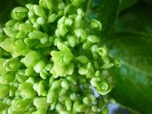 Bourgeon floraux verts Photographie stock