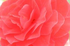Bourgeon indiqué de fleur rouge en plan rapproché différent de tonalité Photo stock