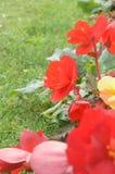 Bourgeon indiqué de fleur rouge en plan rapproché différent de tonalité Photographie stock