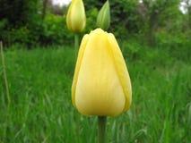 Bourgeon jaune d'une tulipe Image stock