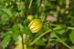 Bourgeon jaune de dahlia Photographie stock libre de droits