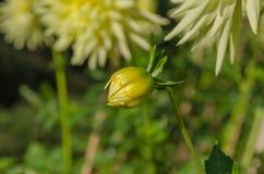 Bourgeon jaune de dahlia Images libres de droits