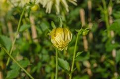 Bourgeon jaune de dahlia Photo libre de droits