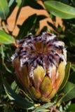 Bourgeon jaune de protea pas entièrement ouvert Image libre de droits
