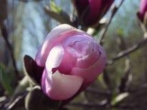 Bourgeon juteux de magnolia photo libre de droits