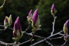 Bourgeon lilas de magnolia Photos libres de droits